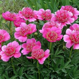 Pünkösdi rózsa 'Anemoniflora'