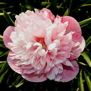 Pünkösdi rózsa 'Mutabilis Plena'