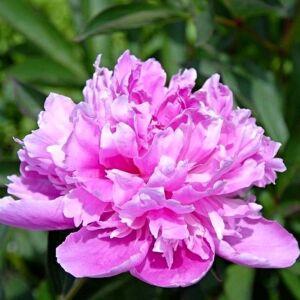 Bazsarózsa 'Amabilis'
