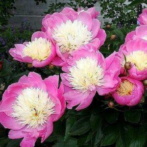 Peonia 'Bowl of Beauty'