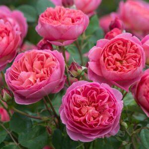 Boscobel - David Austin angol rózsa