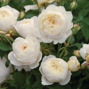 Claire Austin - David Austin angol rózsa
