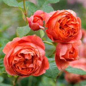 Summer Song - David Austin angol rózsa