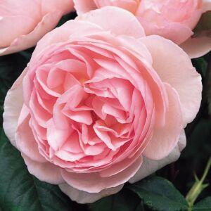 Heritage - David Austin angol rózsa