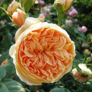 Crown Princess Margareta angol rózsa