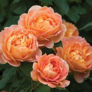 Lady of Shalott angol rózsa