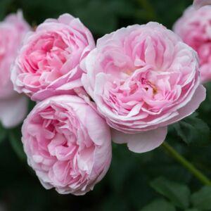 Scepter'd Isle - David Austin angol rózsa