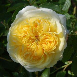 The Pilgrim angol rózsa