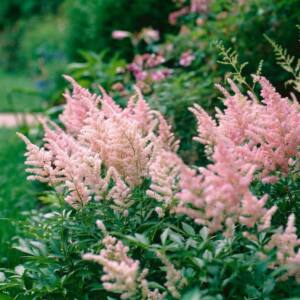 Kerti Tollbuga (Astilbe) - PEACHES AND CREAM