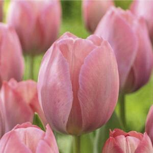 Tulipán - VAN EIJK