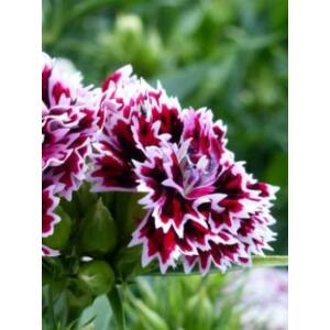 Szegfű (Dianthus barbatus x chinensis), 'Kensington Mix'
