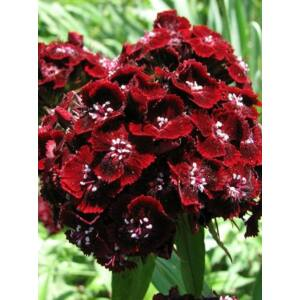 Szegfű (Dianthus barbatus), 'Scarlet Beauty'