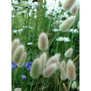 Tollkalász - nyúlfarkfű (Lagurus ovatus), 'Bunny Tails'