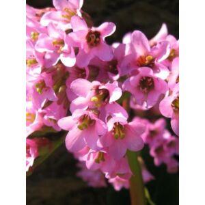 Bergenia purpurascens (Bőrlevél)