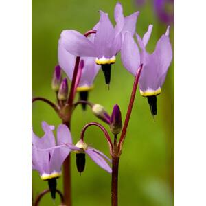 Dodecatheon meadia, 'Shooting Stars' Deluxe Mix