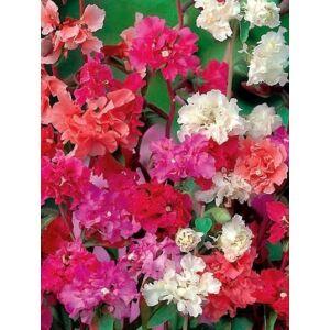 Godetia (Clarkia pulchella), Dupla virágú színkeverék