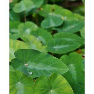 Gaboni gyömbér (Colocasia fallax) mag