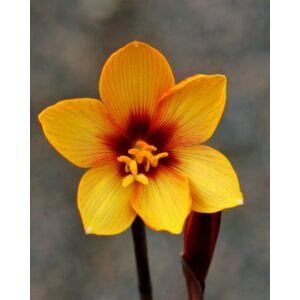 Habranthus tubispathus mag