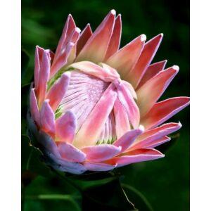 Protea (Protea cynaroides) mag