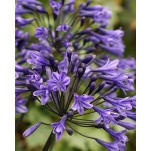 Szerelemvirág (Agapanthus) - Headbourne Hybrids