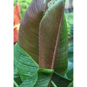 Banánfa (Musa hookerii) - Tarkalevelű, fagytűrő virágmag