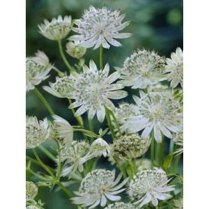 Nagy völgycsillag (Astrantia major), 'Margery Fish' ('Shaggy')