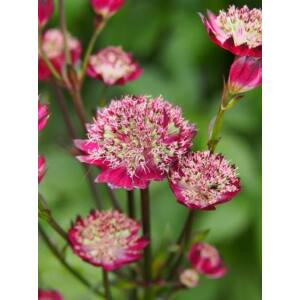 Nagy völgycsillag (Astrantia major), 'Moulin Rouge'