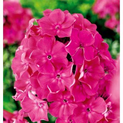 Bugás lángvirág 'Pink'
