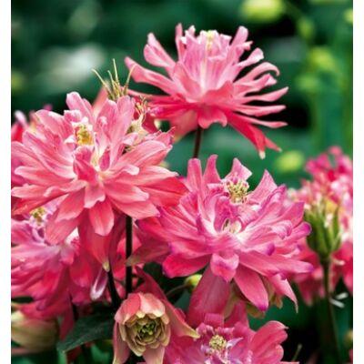 Harangláb (Aquilegia vulgaris) - Rózsaszín