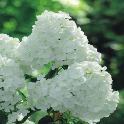 Bugás lángvirág 'White'