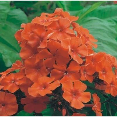 Bugás lángvirág 'Orange'