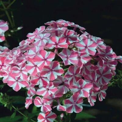 Bugás lángvirág 'Peppermint Twist'
