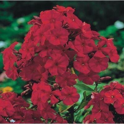 Bugás lángvirág 'Red'
