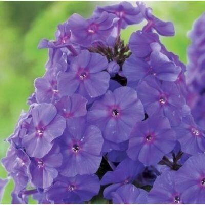 Bugás lángvirág 'Violet'