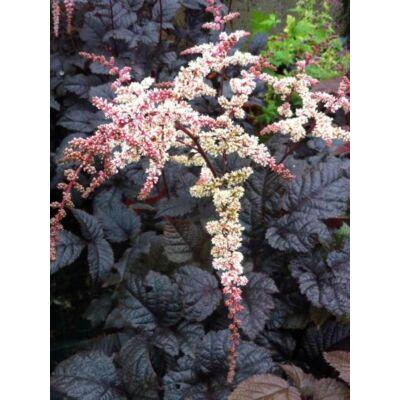 Astilbe (Kerti tollbuga, Csótárvirág) - CHOCOLATE SHOGUN