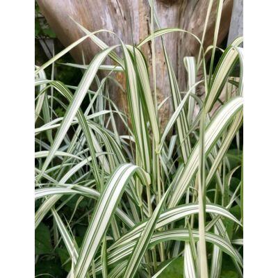 Csíkos pántlikafű - Phalaris arundinacea, Canary picta
