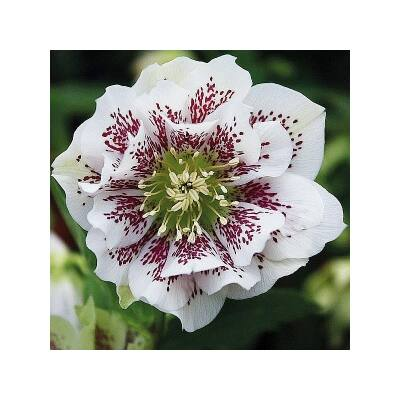 Hunyor 'Double Spotted White'