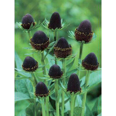 Kúpvirág - Rudbeckia occidentalis, Black beauty