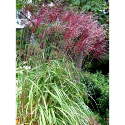Molnárpántlika - Miscanthus sinensis 'Red Chief'