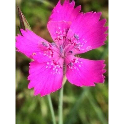 Szegfű, réti - Dianthus deltoides