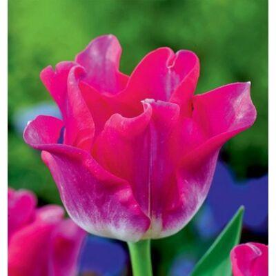Tulipán - LIBERSTAR