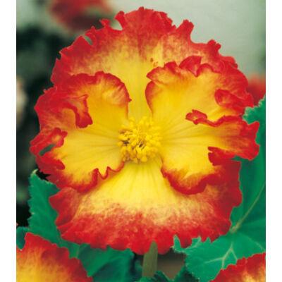 Begónia 'Crispa Marginata Yellow'