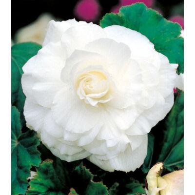 Begónia 'Double White'