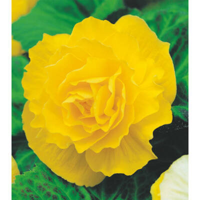 Begónia 'Double Yellow'