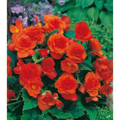 Begónia 'Multiflora Orange'