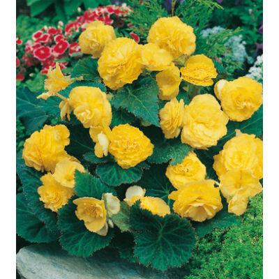Begónia 'Multiflora Yellow'