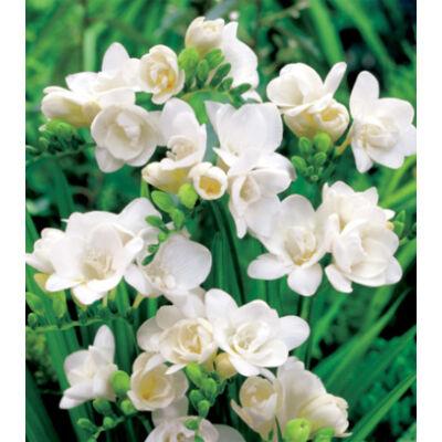 Frézia, teltvirágú - Fehér