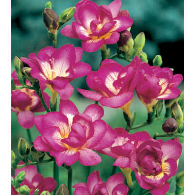 Frézia, teltvirágú - Pink