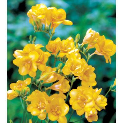 Frézia, teltvirágú - Sárga