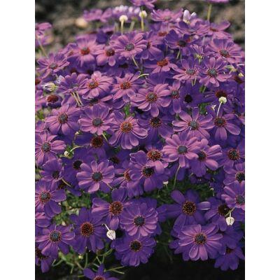 Ausztrál százszorszép (Brachycome iberidifolia) - 'Brachy Blue' virágmag